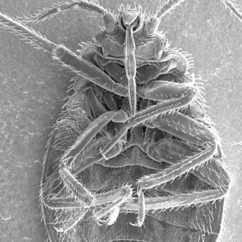 microscopic image of bed bugs
