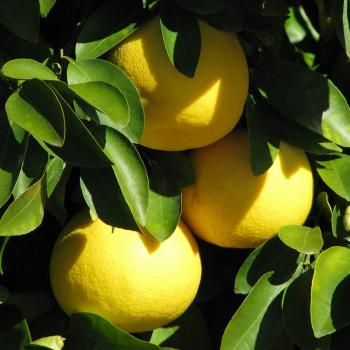 grapefruit growing on a tree