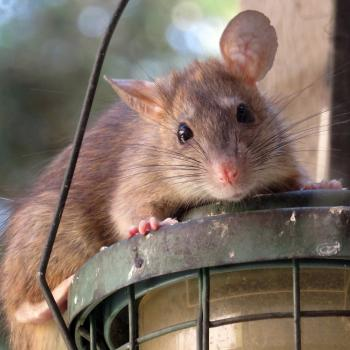 roof rat sitting on a outdoor light