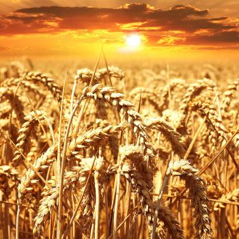 golden field of grains growing under a sunny sunset