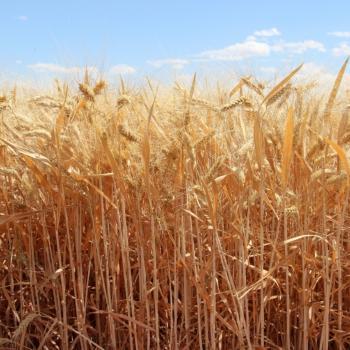 Golden field of grains growing