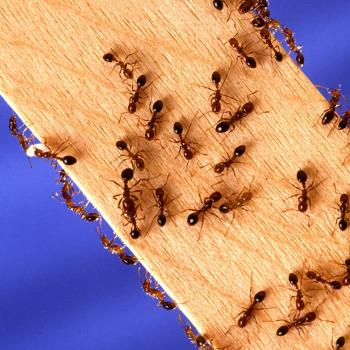 ants walking up a wood board