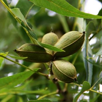 pecans growing on a tree