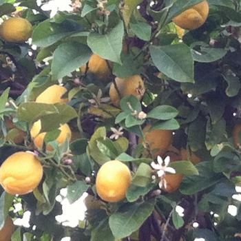 lemons growing on a tree