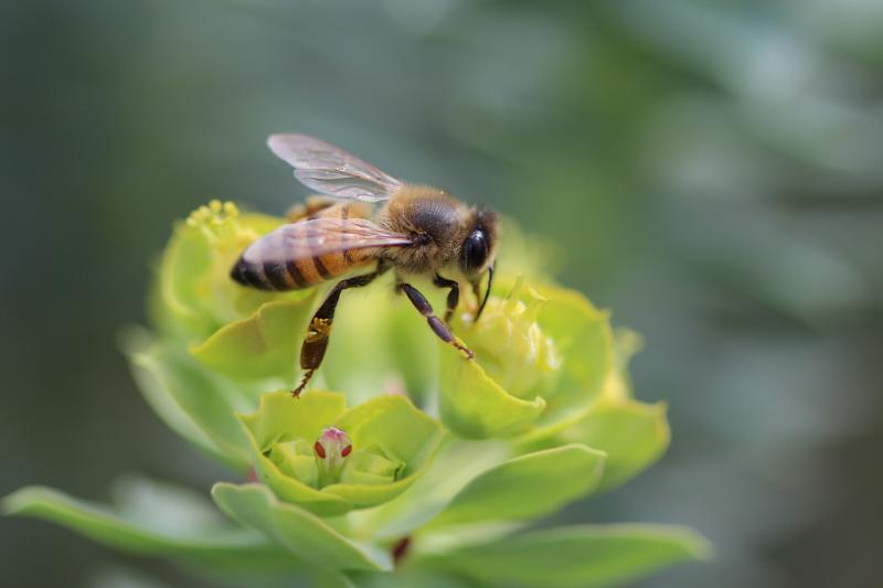 Arizona agriculture, honey bee, bee, pollinator
