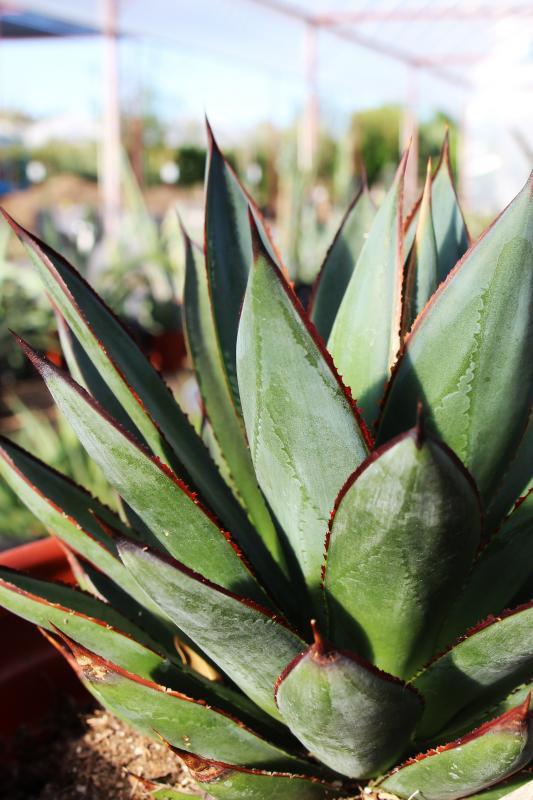 nursery, arizona, Arizona nursery association, Leucophyllum