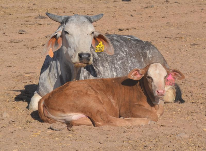 Cow; calf; laying in field