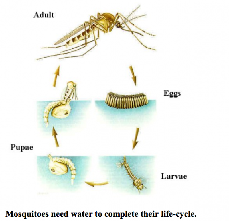 Mosquito Life Cycle, Adult to Eggs atop water to Larvae and Pupae in water to Adult, Mosquitos need water to complete their life cycle