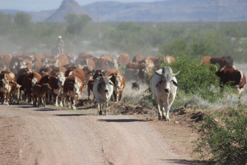 round up, cattle, cows, moving cattle, Arizona Agriculture