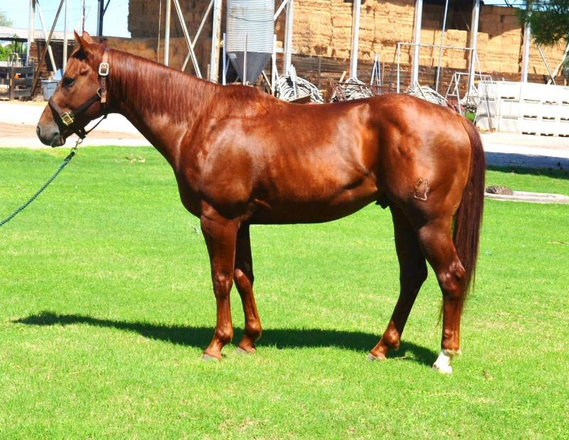 stallion, horse, agriculture, arizona