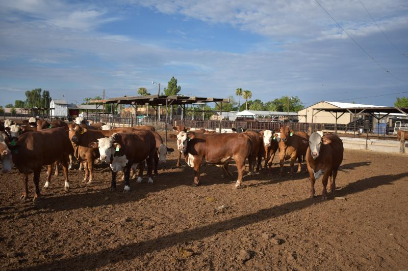 cattle, premises I.D. , livestock, food safety,