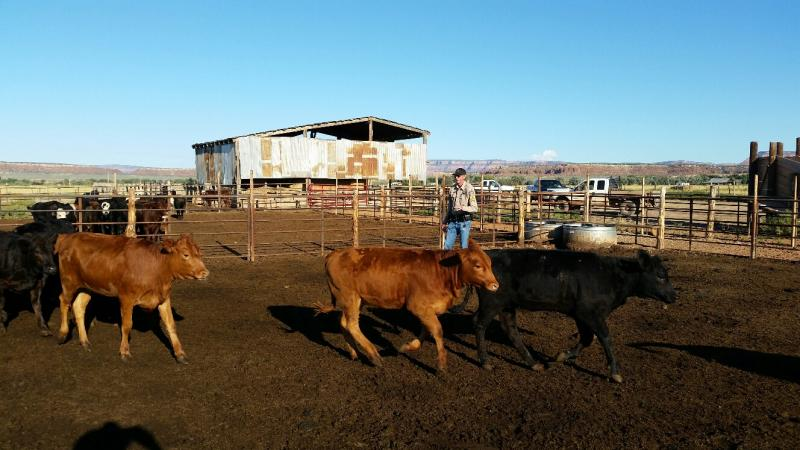 livestock, officer, inspection, livestock inspection, agriculture, arizona, cattle
