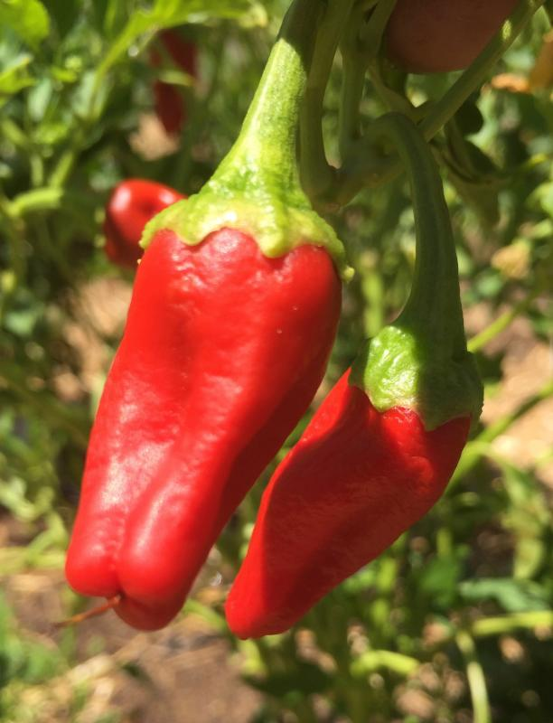 Red chile pepper ; garden; crop; community garden; food safety