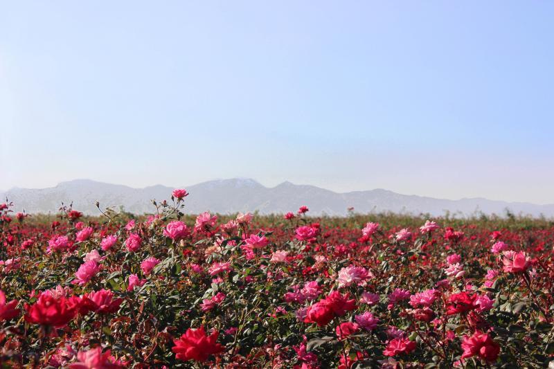 arizona, roses, rose field, certification, plants,