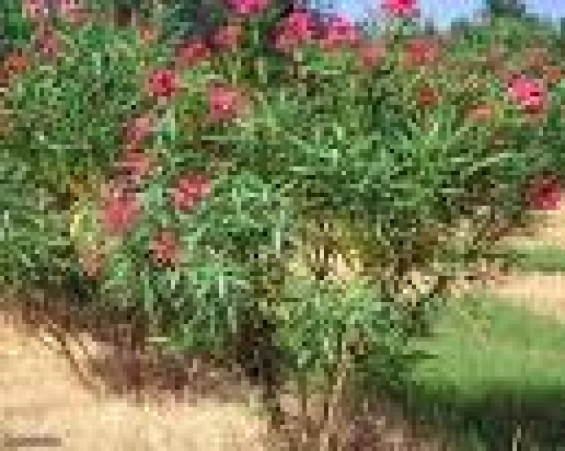 Certified plants, flowers, low water use flowers, Oleander