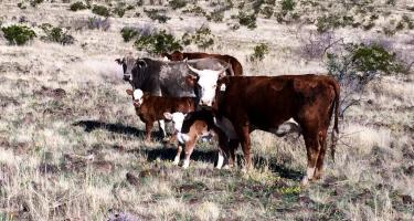 cattle on pasture, cattle on range, Arizona, Agriculture