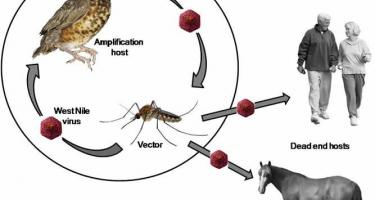 West Nile spread being amplified by a bird and spreading to other animals and humans