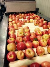 Gala apples, arizona agriculture, Briggs Eggers orchard