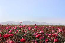 arizona, roses, rose field, certification, plants,