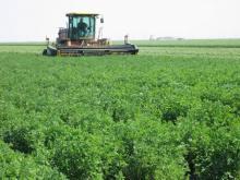 alfalfa being harvested