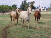 Horses in Mesa