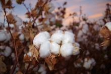 Close up photo of cotton right before harvest