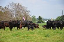rancher checking cow herd