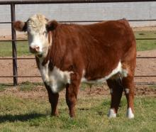 Brown and white steer standing on grass